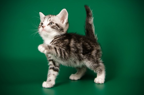 しっぽをたてた子猫