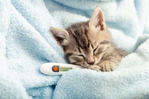 タオルにくるまれて体温計で熱を測る子猫