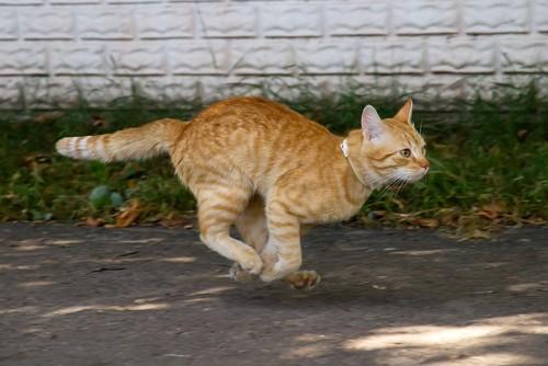 道を走るトラ猫