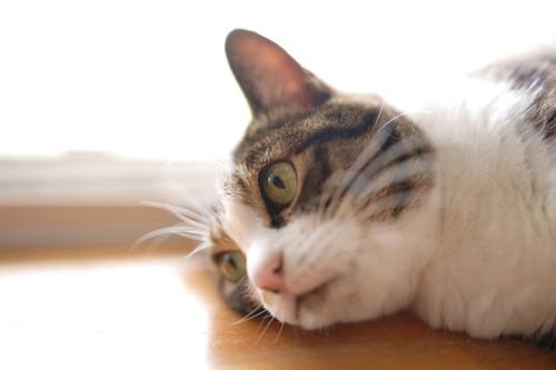 横になる猫の顏のアップ