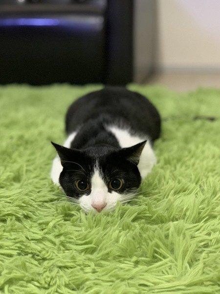 ツチノコポーズの猫