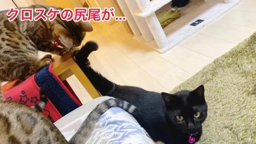 黒猫のしっぽにじゃれるベンガル