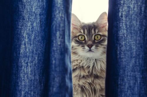 カーテンの隙間からのぞく猫