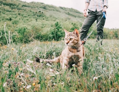 飼い主と散歩している猫