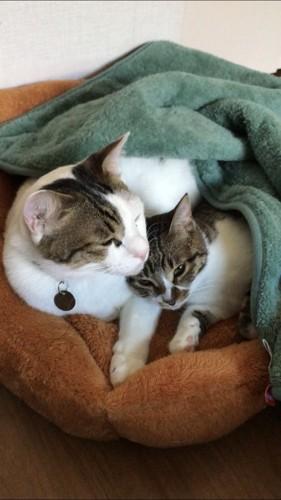 仲良し兄妹でぬくぬくする猫