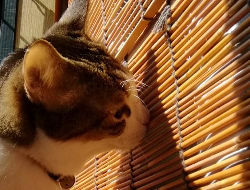 スダレと猫