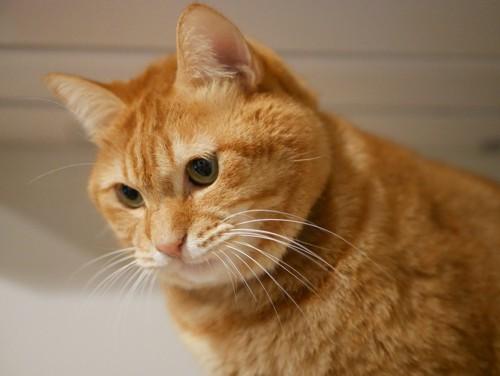 見下ろす貫禄のある茶トラの猫