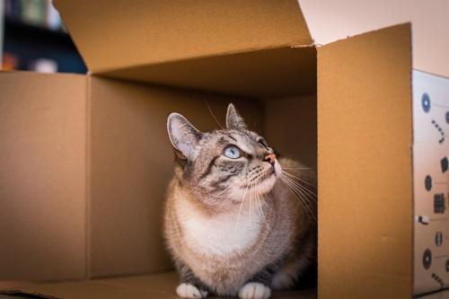 段ボールの中で休む猫