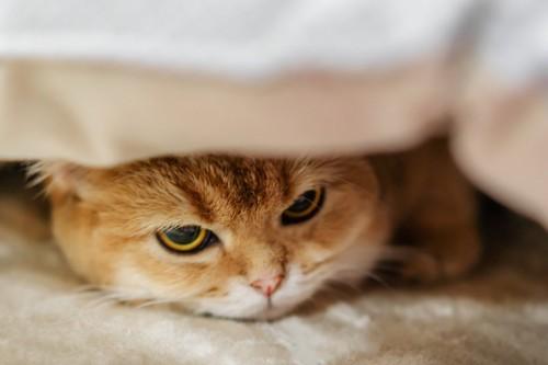 布団をかぶって隠れる猫