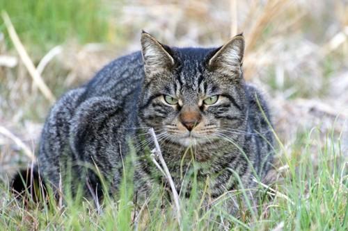 にらみつけるボス猫
