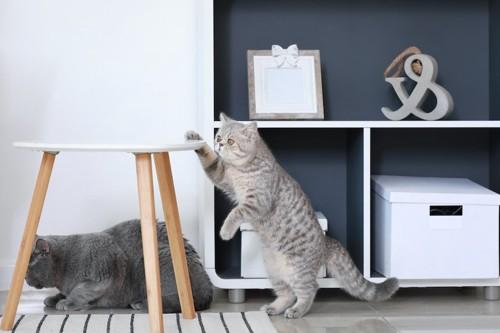 テーブルに手をかける猫
