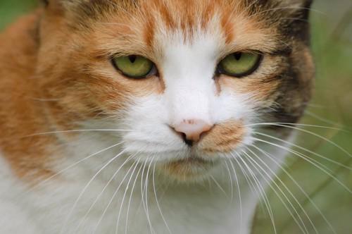 こちらを見つめる猫の顔アップ