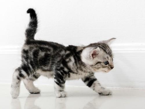 しっぽを立てて歩くアメリカンショートヘアの子猫