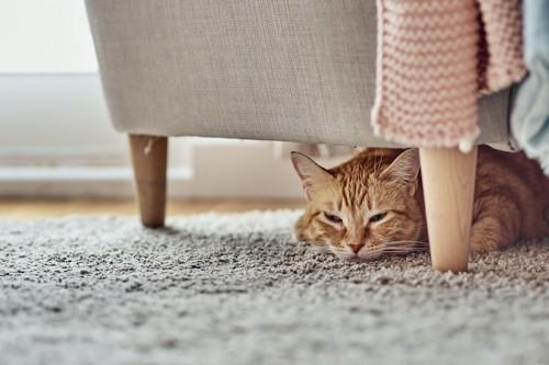 椅子の下に隠れて怒っている猫