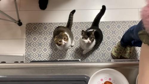 見上げる2引きの猫
