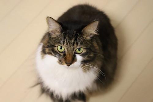 目で訴える猫