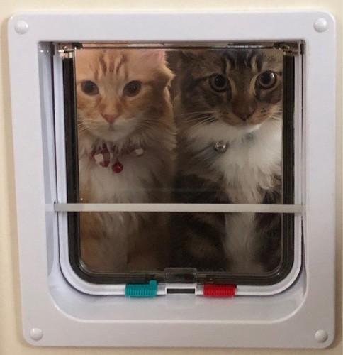 ペット扉の向こう側に座る2匹のメインクーン