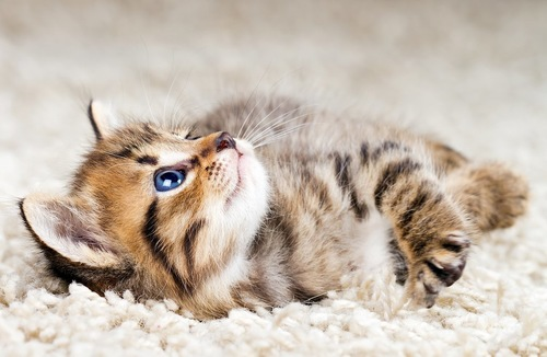 カーペットに寝転がる子猫