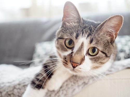 ベッドの上からこちらを見つめる猫