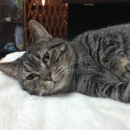 保護猫カフェの猫チェルシーちゃん