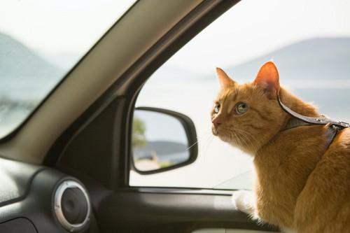 ハーネスをつけて車に乗っている猫
