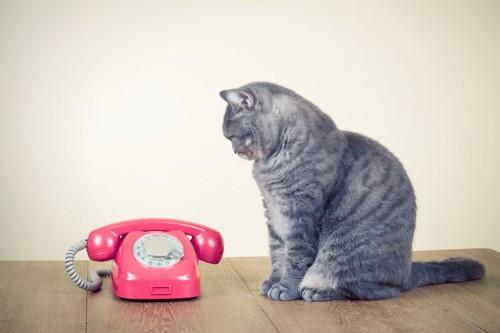 電話を見つめる猫