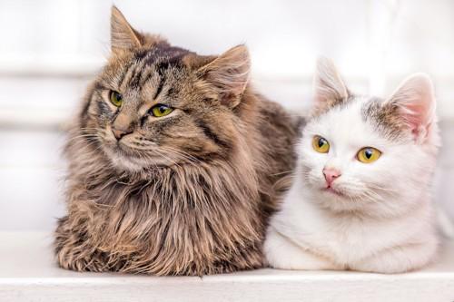 並んで同じ方向を見つめる長毛と短毛の猫