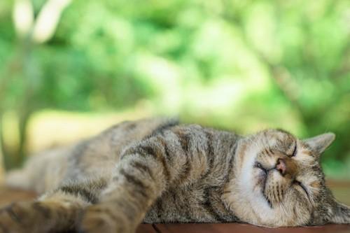 日なたぼっこをして眠る猫