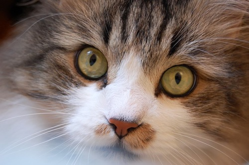 ガン見する猫