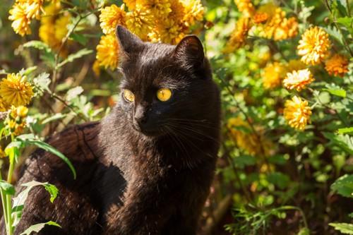 お花畑にいるボンベイ
