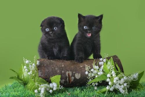 黒いスコティッシュフォールドの子猫2匹