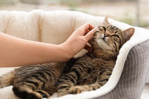 猫ベッドの中の猫を撫でる手