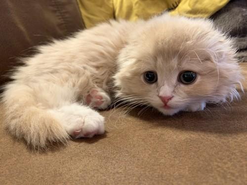 もふもふな子猫ののスコティッシュフォールド
