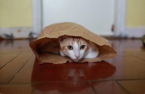 紙袋の中に隠れる猫