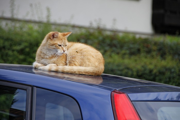 車の上で蜂を見つめる猫