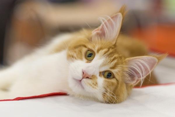 寝転ぶ茶色と白の猫