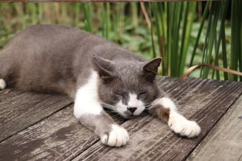 バンザイして眠っている猫