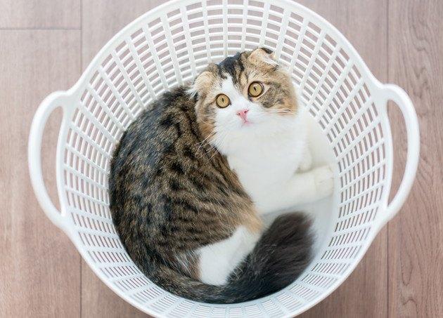 洗濯カゴの中からこちらを見つめる猫の写真