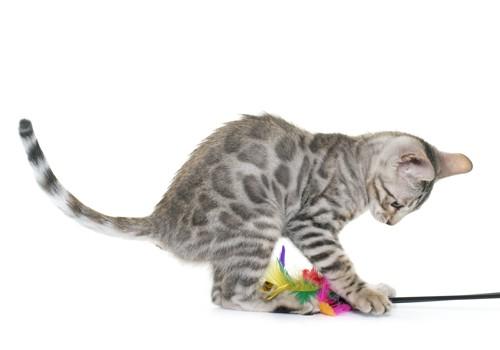 おもちゃで遊ぶベンガル猫
