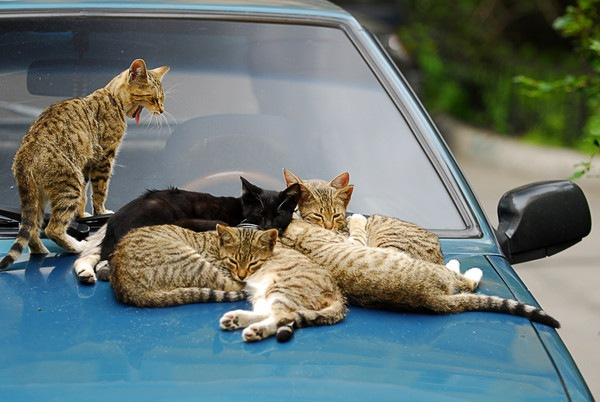 車の上の猫たち