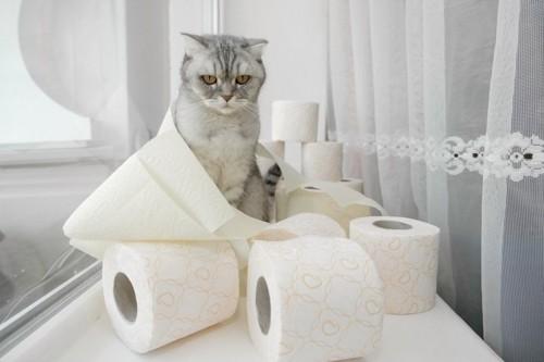トイレットペーパーの側にいる猫
