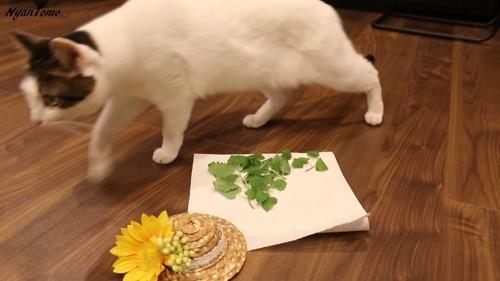 キャットニップを通り過ぎる猫