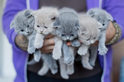 ロシアンブルーの子猫たち
