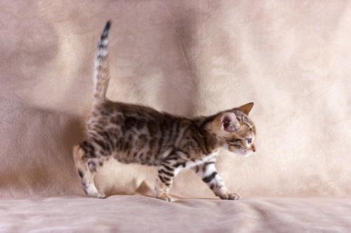 足を上げて歩く猫