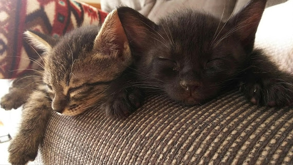 2匹ソファーで寝ている子猫