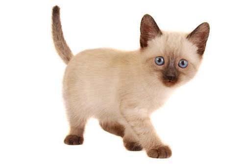 ブルーの瞳のシャムの子猫