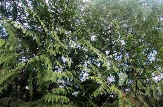 猫のMamaが立ち往生した木