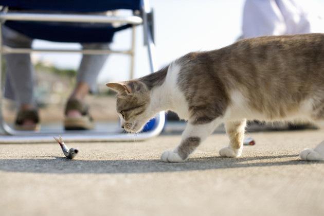 ホタテを探している猫