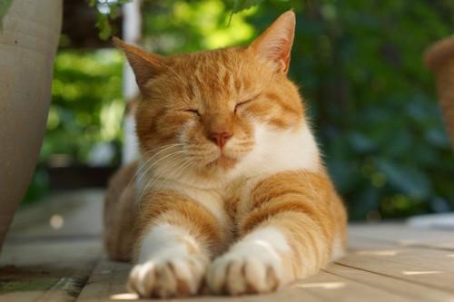 スフィンクス座りをする茶白猫