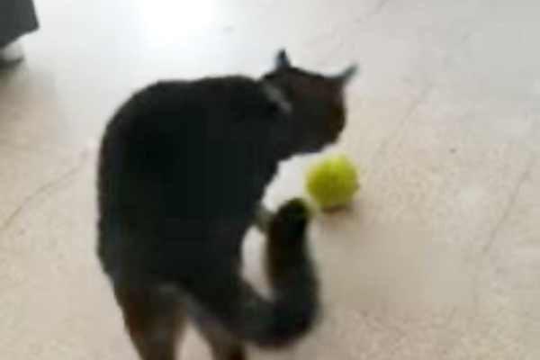 ボールで遊び始める猫